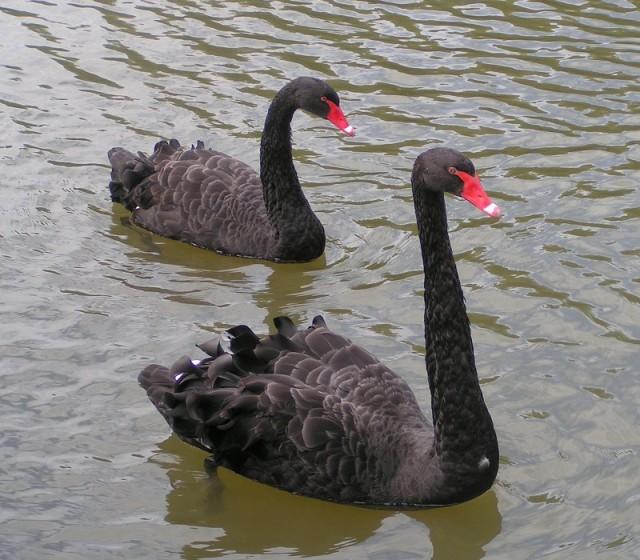 Two Balck Swans.jpg